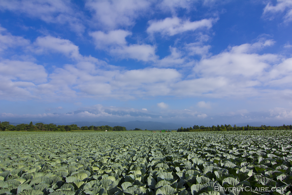 Cabbages and blue skies