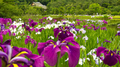 Beautiful Irises at Sankeien Garden