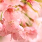 Cherry Blossom Viewing at Mitsuike-koen