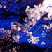 Night Sakura at Chidorigafuchi
