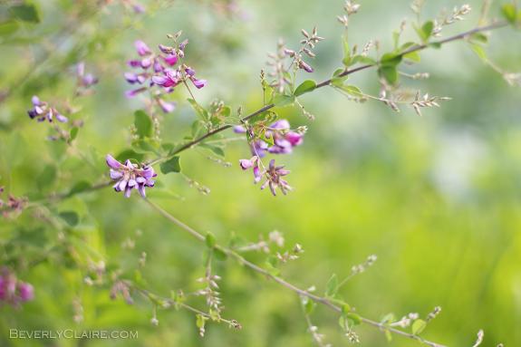 Bush clover ヤマハギ