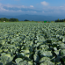Fresh Cabbages at the Chourever in Kitakaruizawa