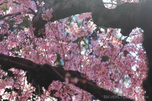 Pink sakura at Sumida Park in Tokyo