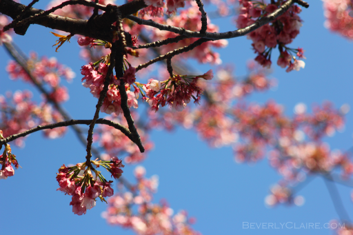 Sakura, the pink variety