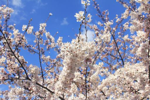 White sakura at Sumida Park in Tokyo